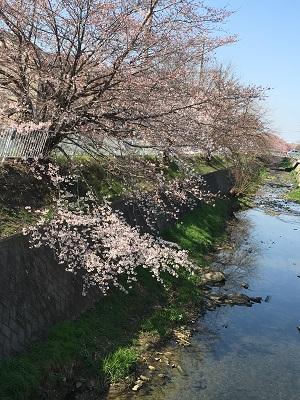 2016-0331-sakura.jpg