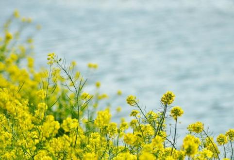 菜の花 (1)