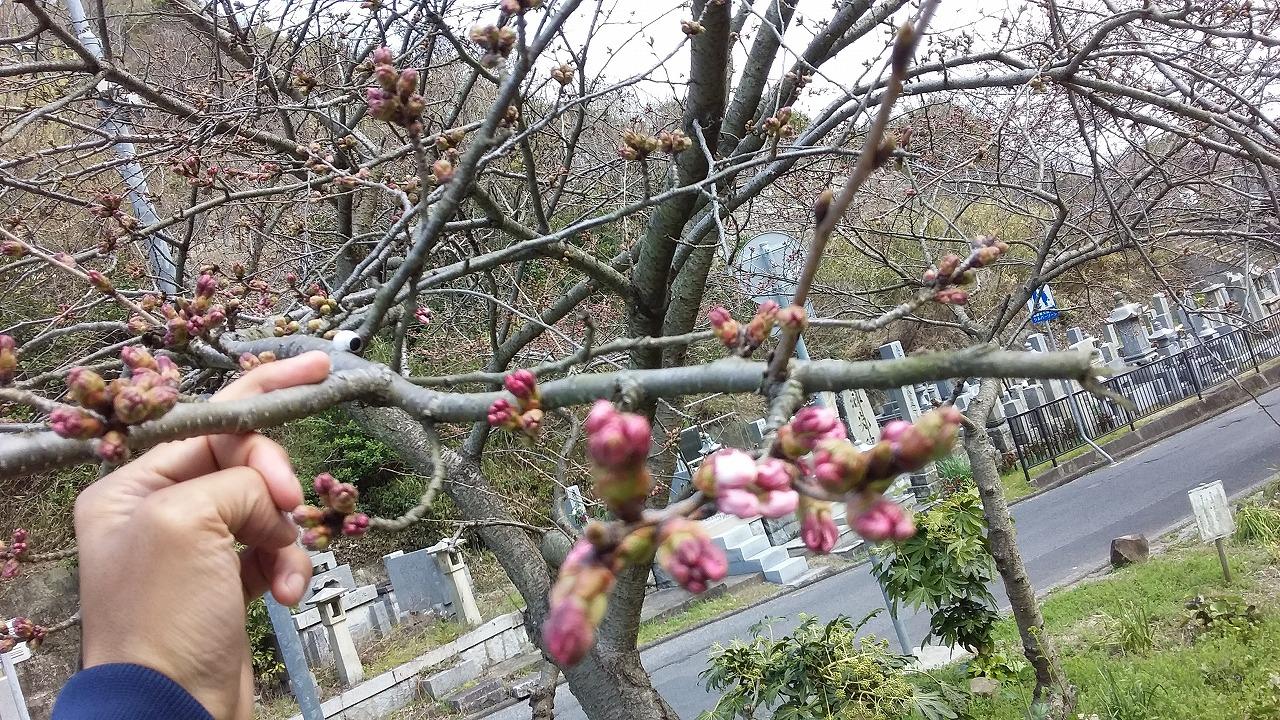 峰山標準木20160324