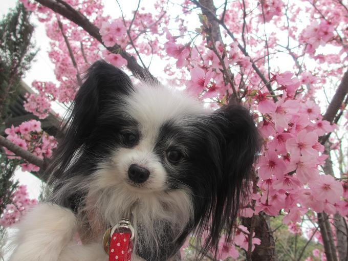 26桜とランディ