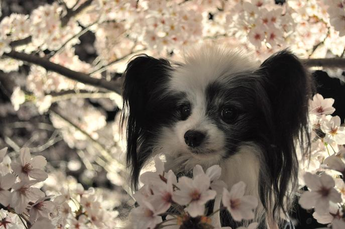 2016 ランディと桜