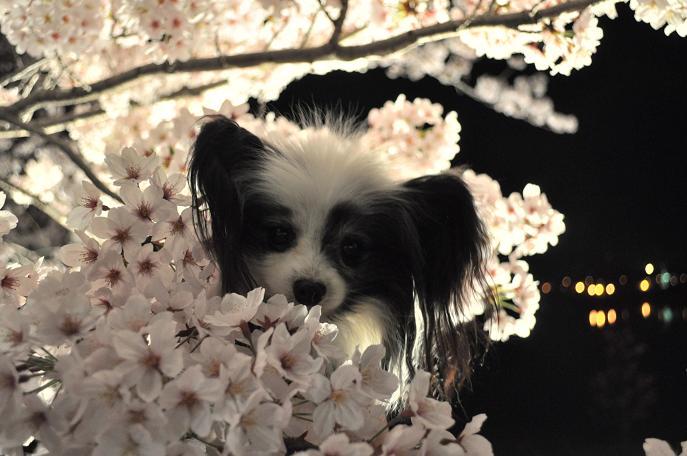 2016ランディと桜4