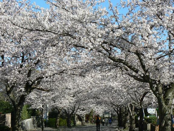 0804駅前の桜