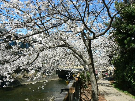 0804松川の桜