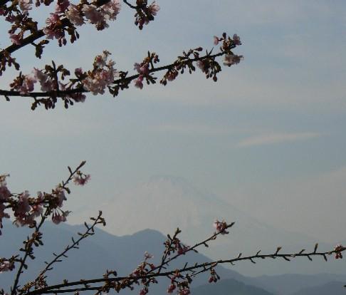 0803富士河津桜