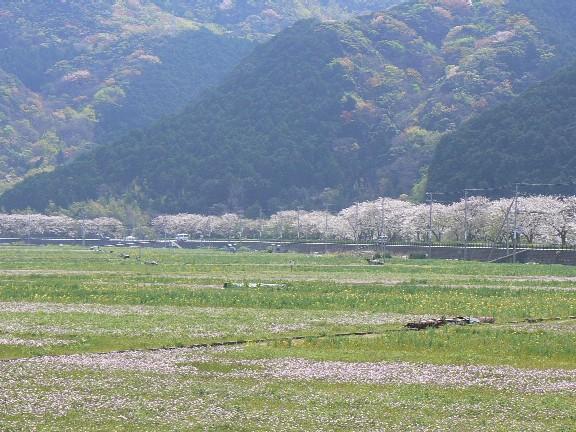 0704松崎桜遠景3
