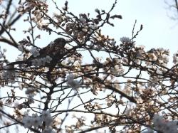 20160323井の頭公園桜1