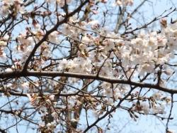 20160323井の頭公園桜2