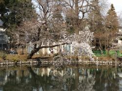 20160323井の頭公園桜3
