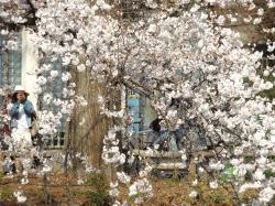 20160323井の頭公園桜4