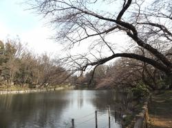 20160323井の頭公園桜6