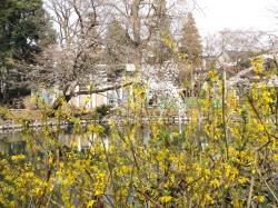 20160323井の頭公園桜5