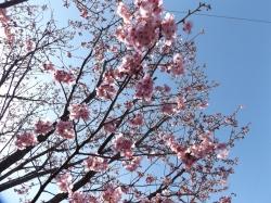 20160425桜1