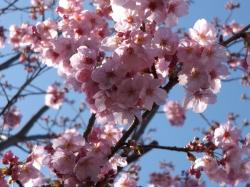 20160425桜2