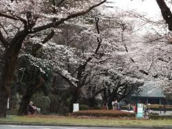 20160327_ICU桜1