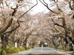 20160327_ICU桜3