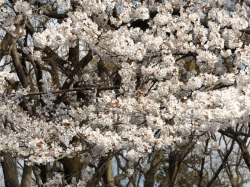 20160327_ICU桜6