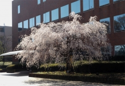 三鷹JCBの桜1
