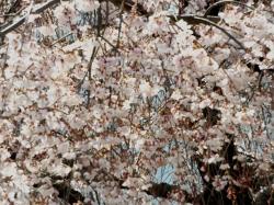 三鷹JCBの桜5