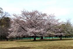 20160331井の頭公園桜