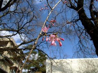 NCNP桜