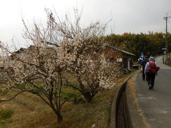 160227矢田梅 (4)