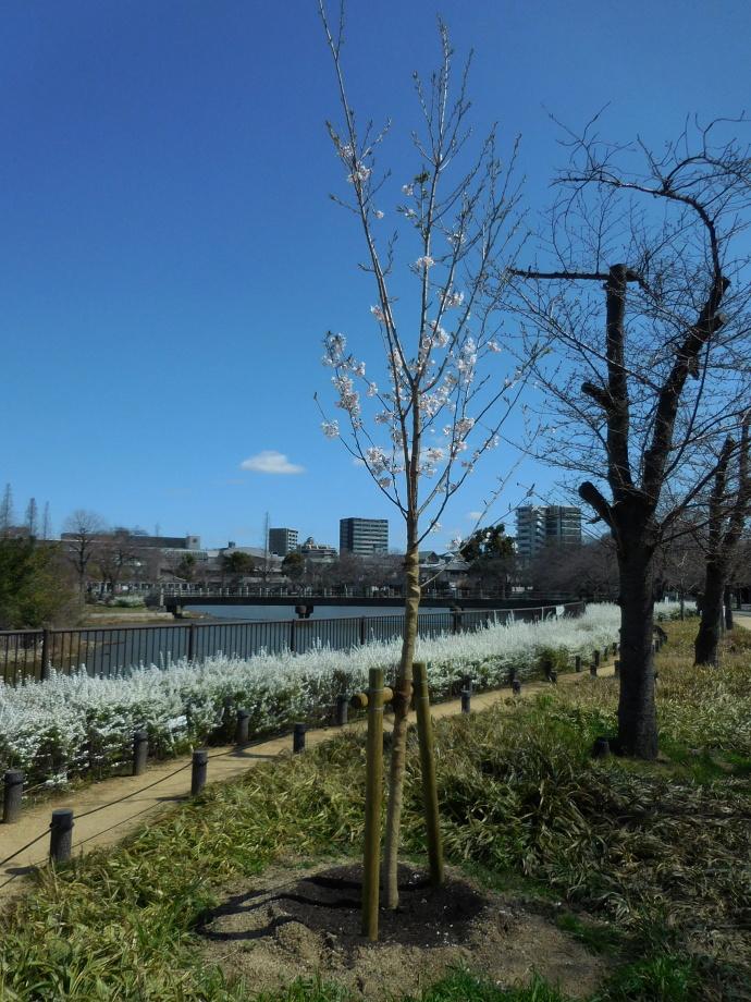 160321桜 (4)