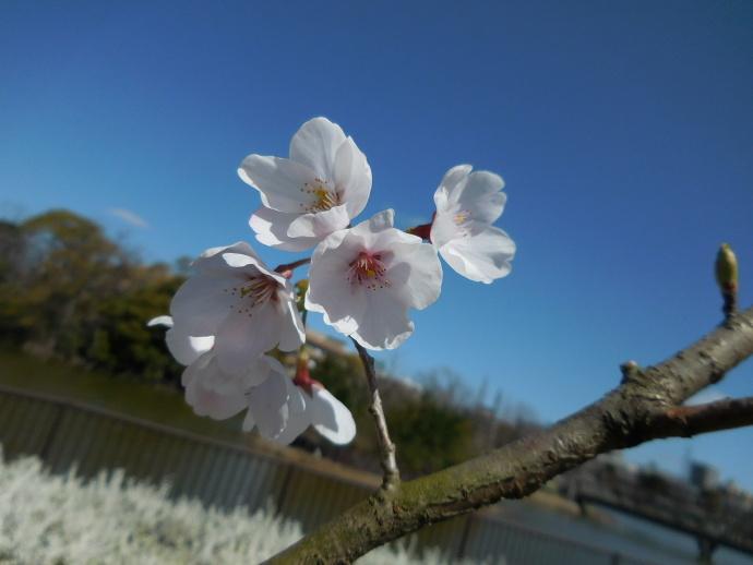 160321桜 (5)