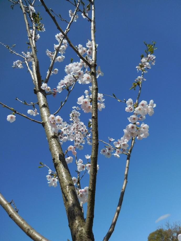 160321桜 (6)