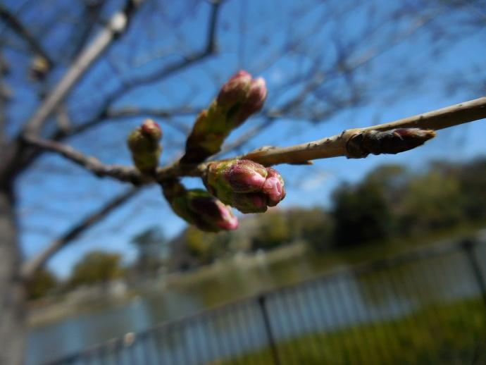 160321桜 (1)