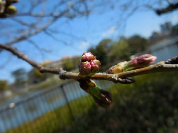 160321桜 (3)