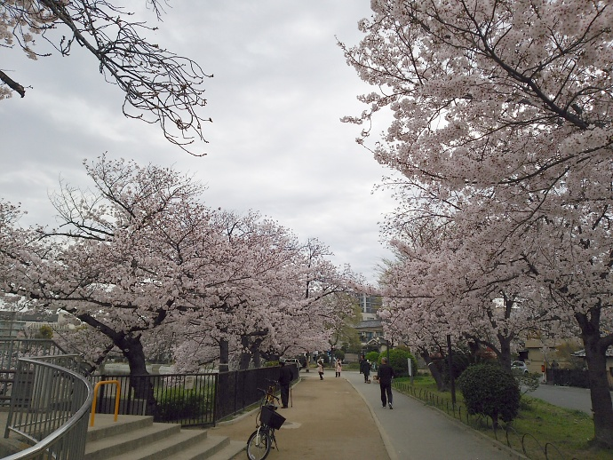 160403万代桜 (1)
