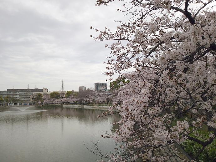 160403万代桜 (2)