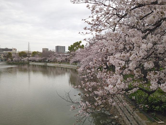 160403万代桜 (3)