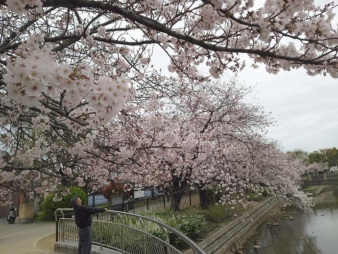 160403万代桜 (4)