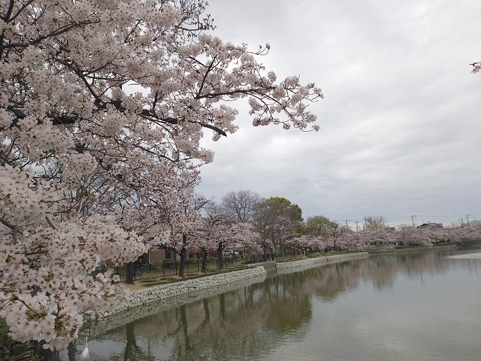 160403万代桜 (5)