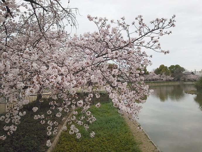 160403万代桜 (6)