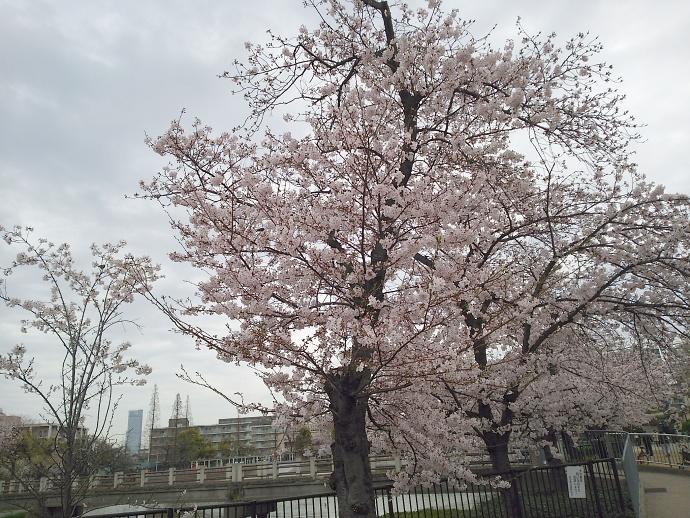 160403万代桜 (7)