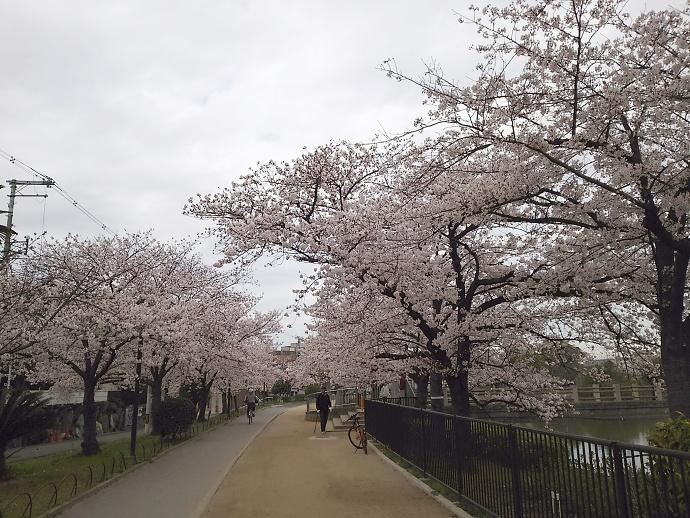 160403万代桜 (8)