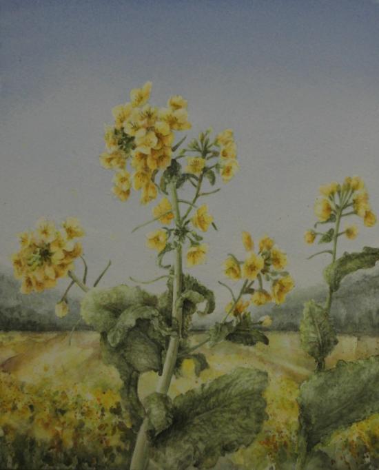 菜の花 1602