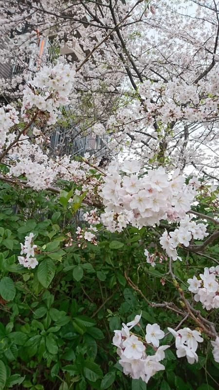 2016.桜