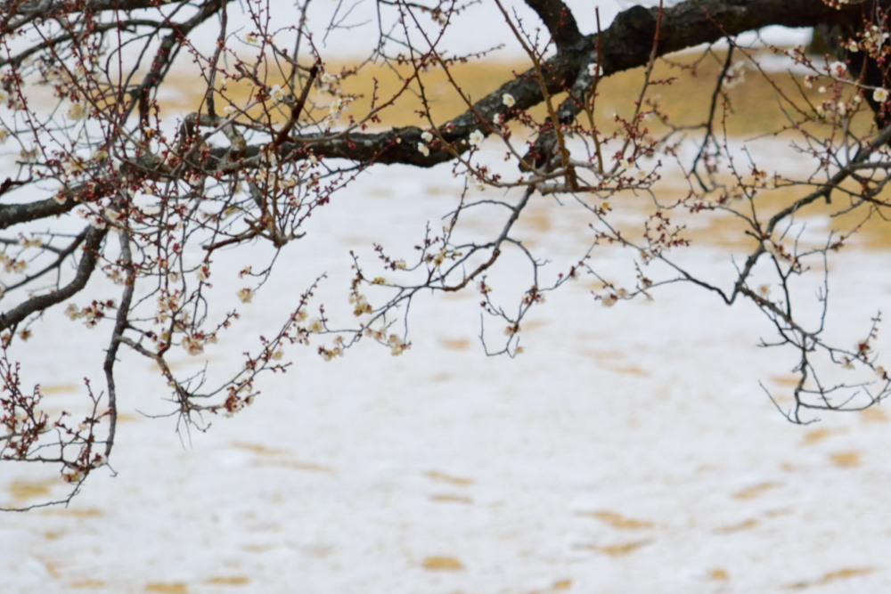 _梅と雪DSC_1313