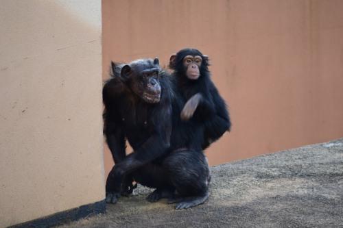 _チンパンジーDSC_1502