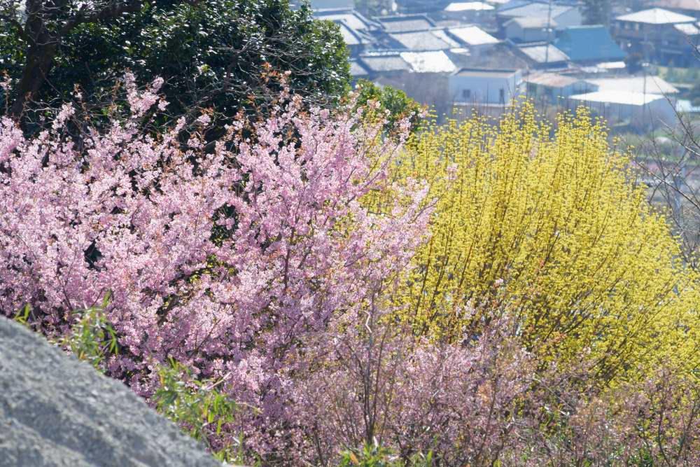 _桜とサンシュユDSC_3410