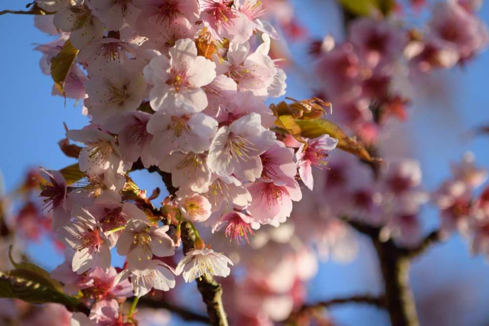 山桜DSC_3565