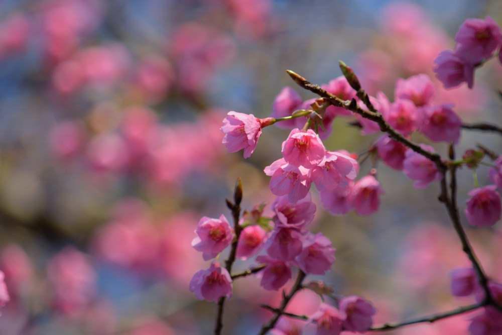 山桜DSC_3515