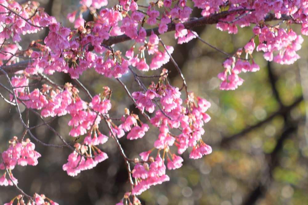 山桜DSC_3507