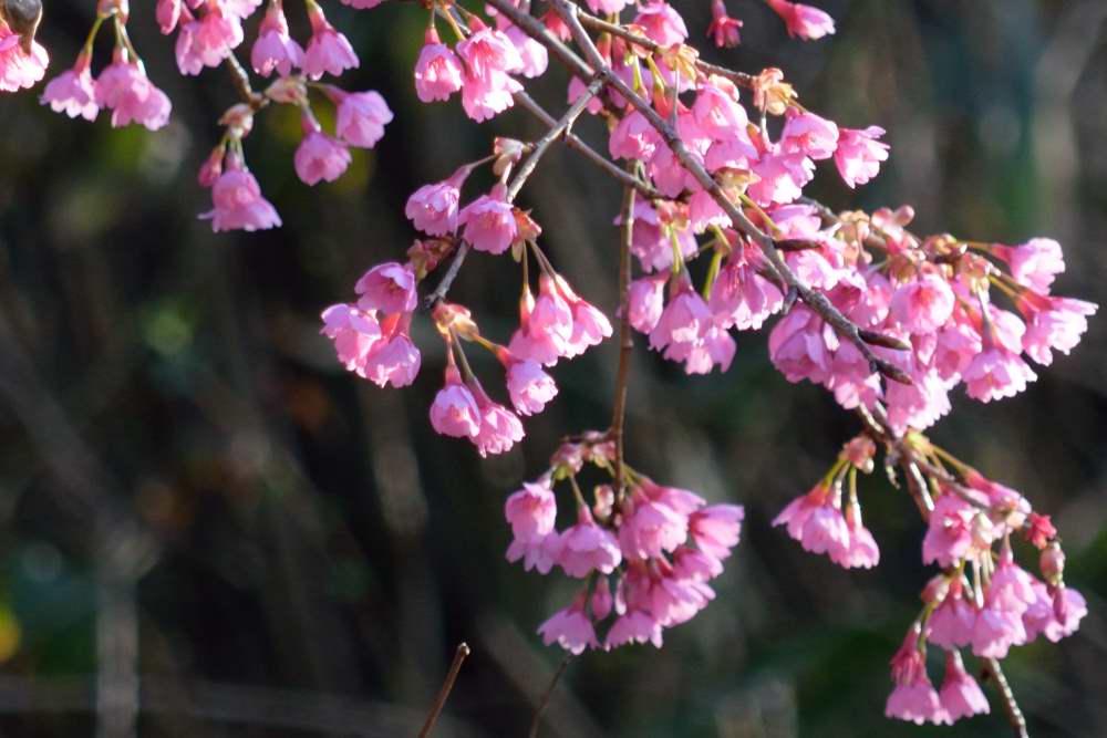 桜DSC_3513