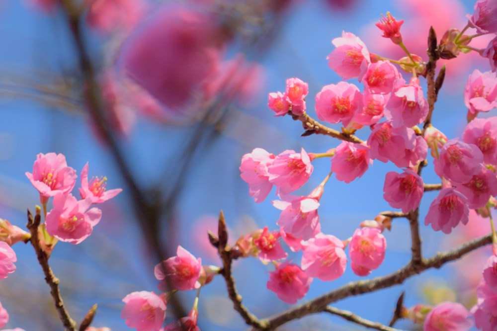 桜DSC_3516