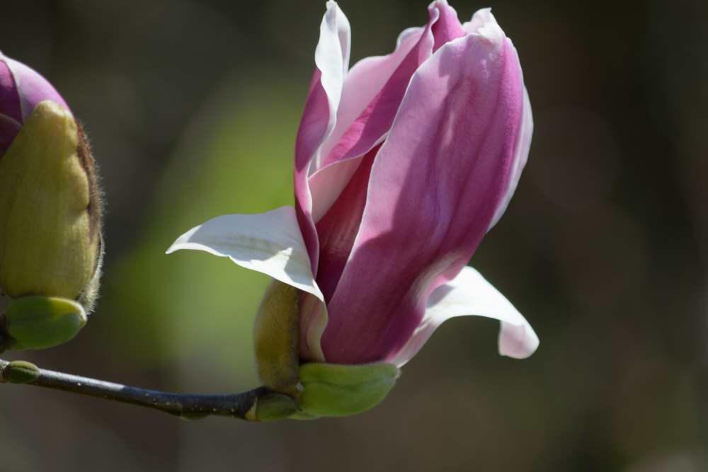 紫木蓮DSC_3832
